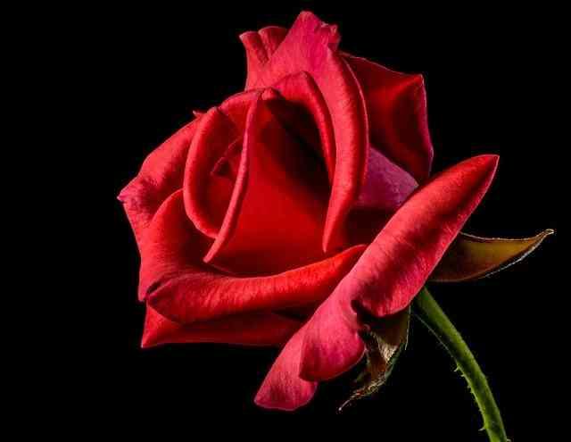 Whatsapp bedeutung rote rose ᐅ Emoji